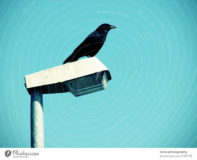 The Guardian Bird's-eye view Monitoring Protection Raven birds Crow Common Raven Jackdaw Rook Lantern Street lighting Lamp Sky Wisdom Fairy tale Vignetting