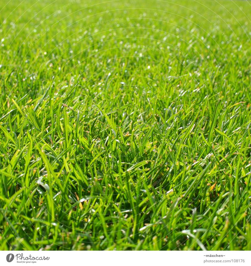 lush grass juicy grass Grass Green Blade of grass Juicy Fresh Sowing Soft Force Gaudy Relaxation Sunbathing Ruminant Grass stain Macro (Extreme close-up)