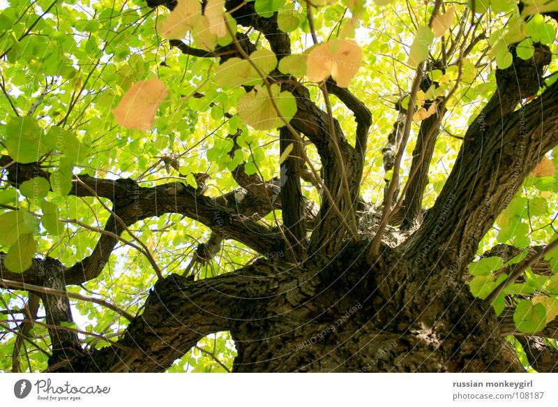 play of light of the leaves Tree Green Tree bark Brown Yellow White Leaf Beautiful Friendliness Summer Autumn Spring Seasons Pattern Play of colours Playing