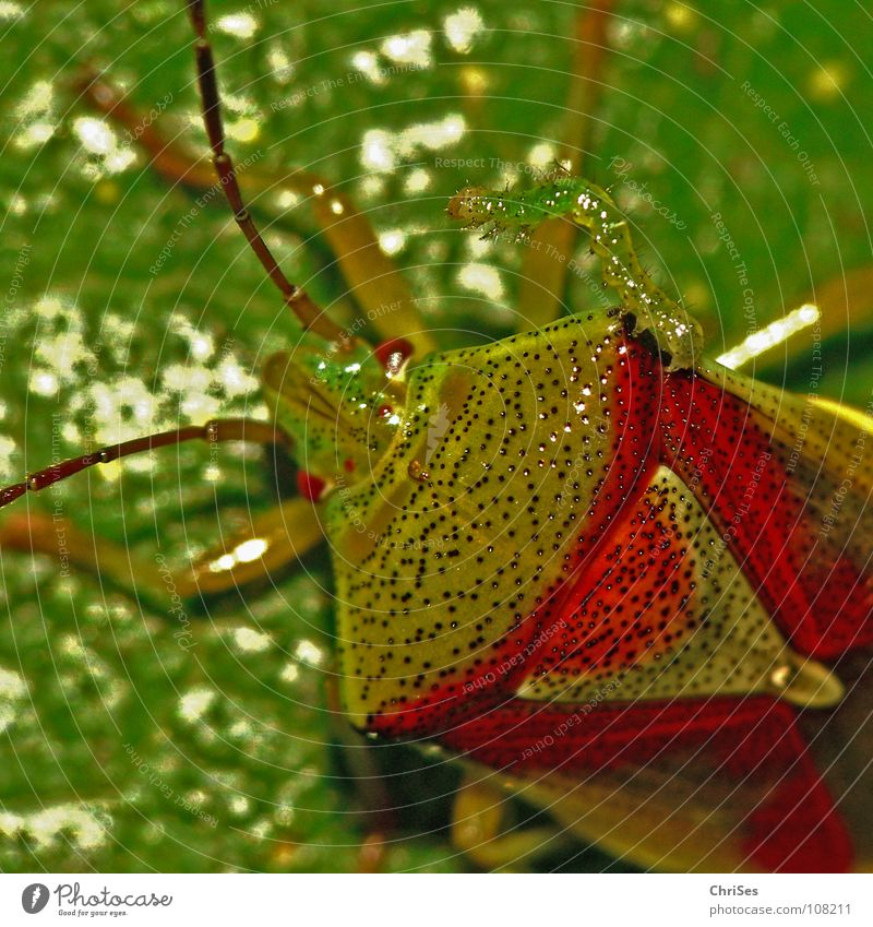 Friends forever : Berry bug with caterpillar Sloebug Shield bug Together Bug Insect Green Red Animal Northern Forest Macro (Extreme close-up) Close-up Summer