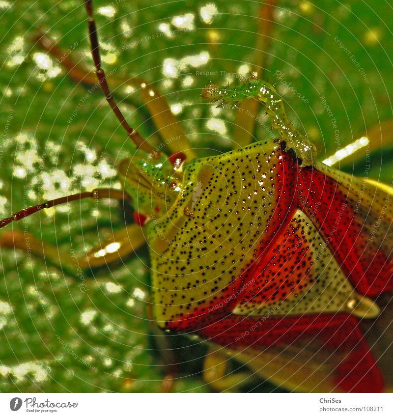 Green Red Summer Animal Together Insect Odor Caterpillar Northern Forest Bug Shield bug Sloebug