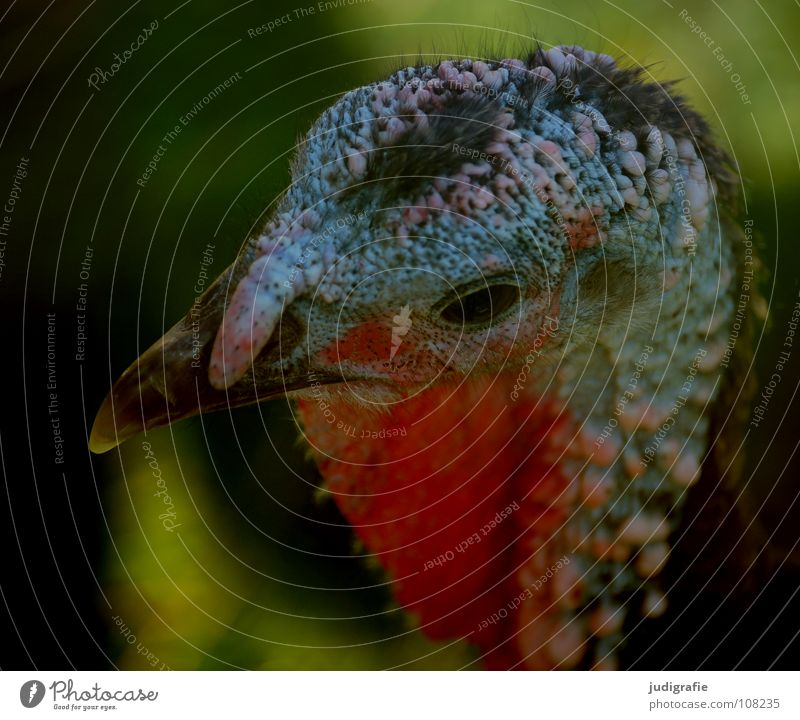 Red Colour Animal Eyes Food Hair and hairstyles Bird Feather Farm Beak Pride Public Holiday Aggression Extraterrestrial being Comb Turkey