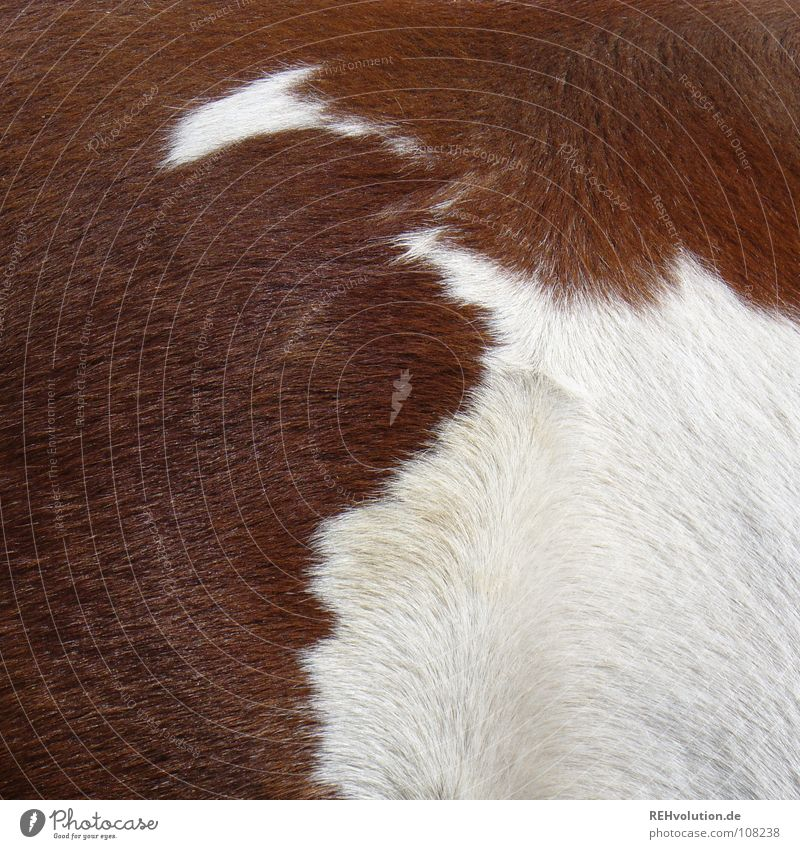 White Animal Playing Hair and hairstyles Brown Horse Clean Pelt Side Mammal Bangs Dappled Swirl Brush Ride Pinto
