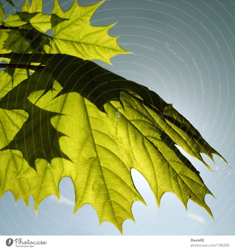 Nature Sun Green Blue Leaf Spring Fresh Growth Transience Canada Beautiful weather Bud Vessel Maple tree Photosynthesis Plantlet