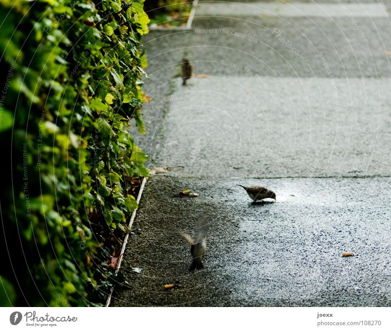 The sparrow of Wallrafplatz Bushes Division Green Hedge Wet Puddle Places Drinking Bird Traffic infrastructure Floor covering Flying Rain Sparrow Date Water