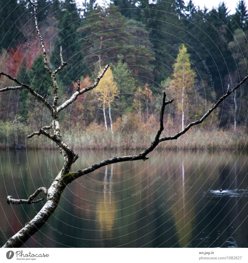 colour plays Harmonious Relaxation Calm Trip Nature Landscape Plant Autumn Branch Forest Lakeside swan lake Green Romance Sadness Idyll Symmetry Grief