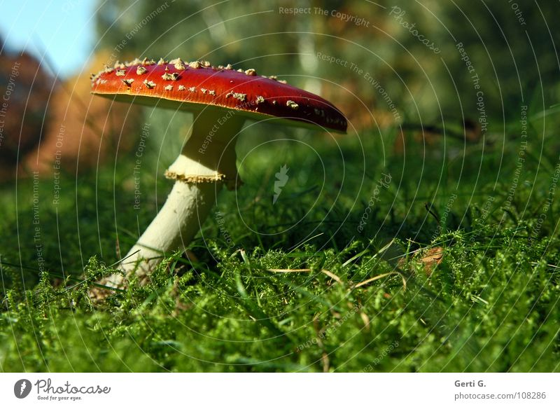 flexible Flexible Amanita mushroom Woodground Autumn Poison Flake Intoxicant Symbols and metaphors Stand Growth Green Sunlight Curved Bend Warped Grass Meadow