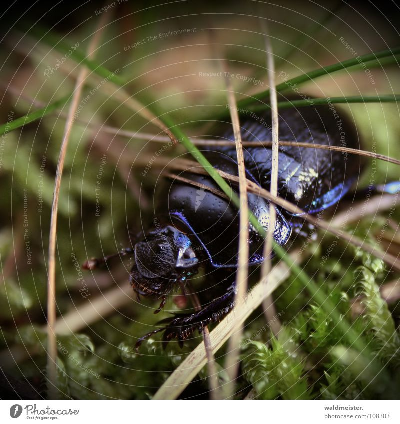 dung beetle Beetle Insect Glittering Moss Crawl Blue Violet Dazzling Fir needle Pine needle metallic