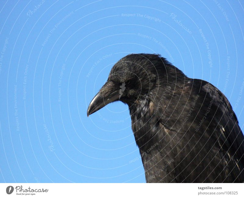 GUNNER Raven birds Bird Black Beak Observe Testing & Control Own Feather Concentrate Martial arts Blue daytime look spy upon sb. in mind