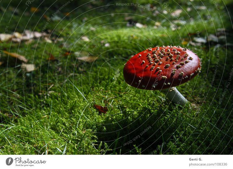 sweetheart Amanita mushroom Woodground Autumn Poison Flake Intoxicant Symbols and metaphors Growth Green Leaf Dark Back-light Twilight Sunlight Physics