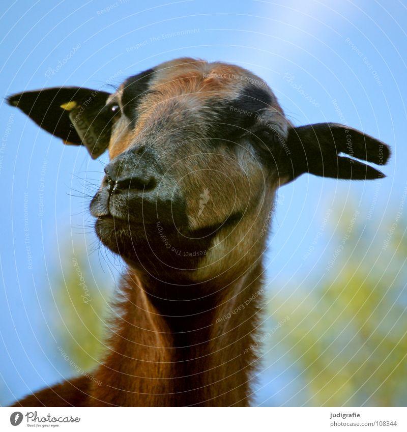 Sky Animal Colour Signs and labeling Ear Curiosity Pelt Sheep Mammal Pet Earring Farm animal