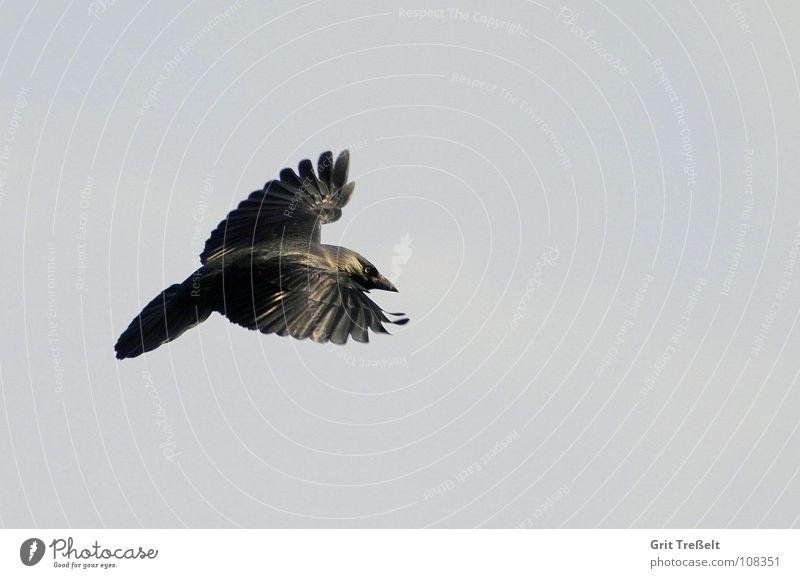 jackdaw Bird Jackdaw Raven birds Black Aviation Flying Sky