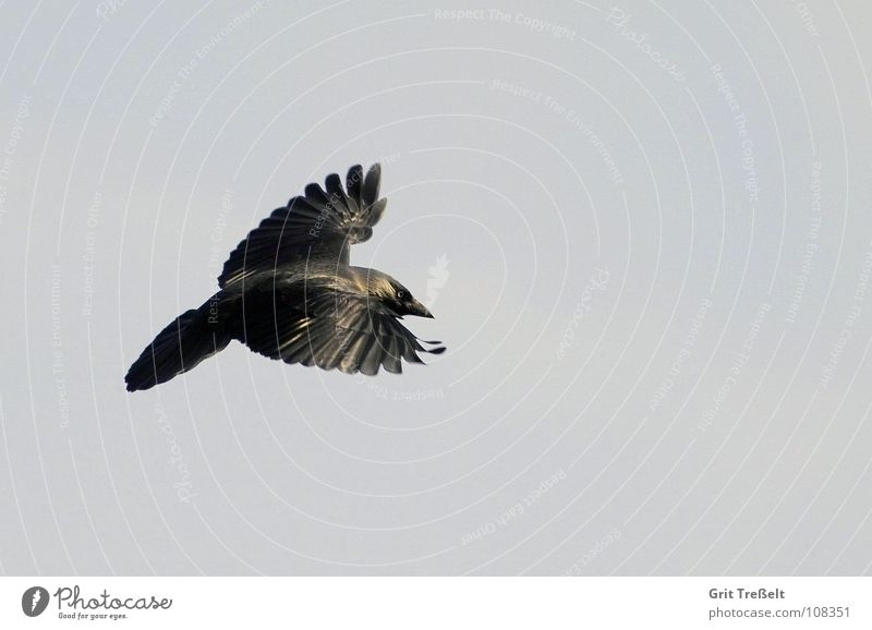 Sky Black Bird Flying Aviation Raven birds Jackdaw