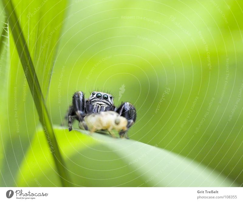 spring spider Jump Jumping spider Green Spider Macro (Extreme close-up)