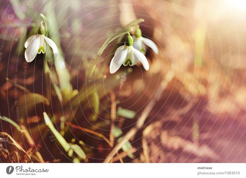 morning sunshine Style Valentine's Day Nature Earth Spring Beautiful weather Flower Grass Leaf Blossom Snowdrop Spring flowering plant knotflowers Amaryllis