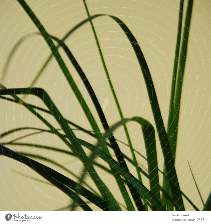 Grass I Plant Living thing Oxygen Carbon dioxide Blade of grass Pot plant Stripe Yellow Green Joy Decoration Curve Line living being o2 water leaves curves