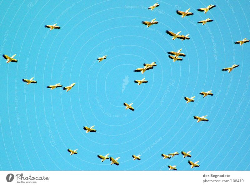 The birds Bird Migratory bird Pelican Turquoise Autumn October Multiple Africa Sky Blue Far-off places Free Wild animal Flight of the birds Wing Flock Many