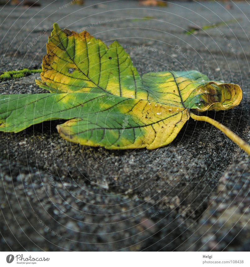 Tree Green Leaf Yellow Colour Autumn Garden Lanes & trails Park Brown To fall Transience Point Stalk Sidewalk Cobblestones
