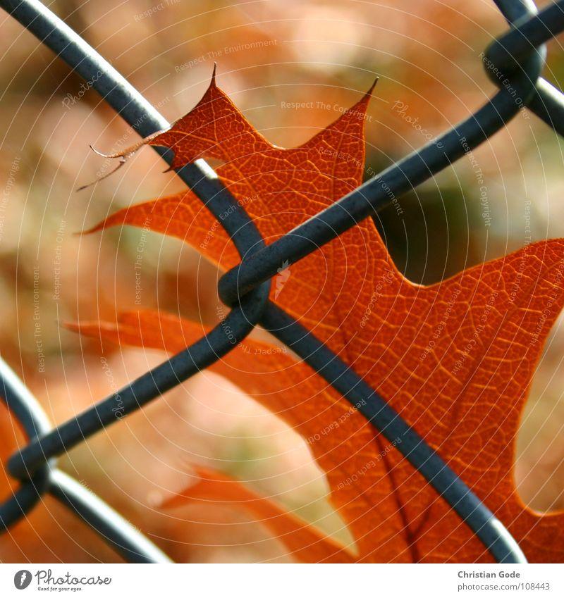 captive Autumn Leaf Fence Brown Green Tree Wire netting Wire netting fence Seasons Summer Winter Border Safety (feeling of) Maple tree Oak tree Alder