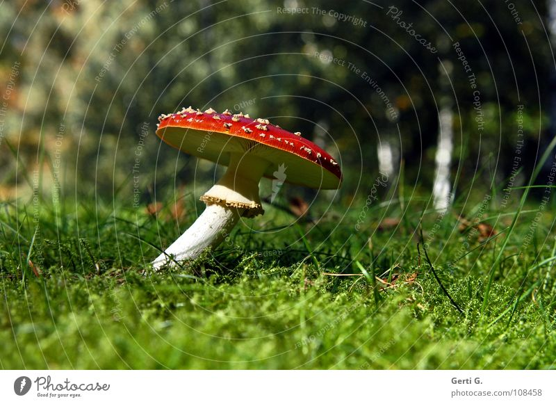 twisted Flexible Amanita mushroom Forest Woodground Autumn Poison Flake Intoxicant Symbols and metaphors Stand Growth Green Sunlight Curved Bend Warped Grass