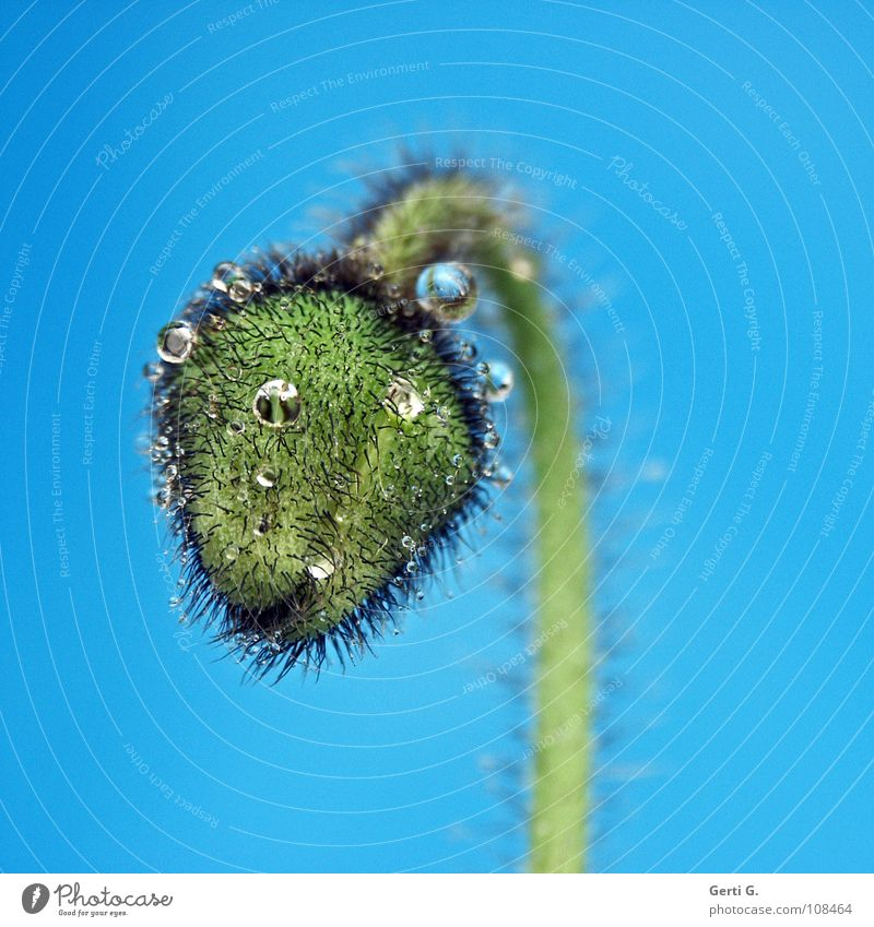 loner Flower Blossom Green Harmonious Corn poppy Poppy Poppy capsule Plant Turquoise Thorny Wet Drops of water Hydrophobic Round Blue-green Greeny-blue Droop