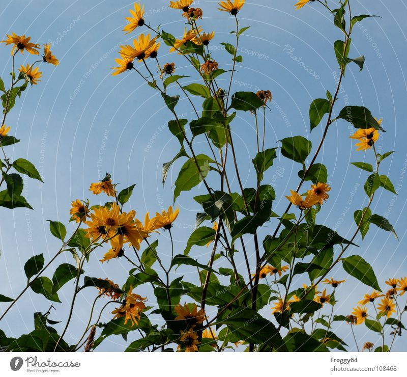 autumn blossoms Summer Plant Botany Part of the plant Verdant Environment Sunflower Sky blue Flower Blossom Stalk Back-light Worm's-eye view Beautiful weather