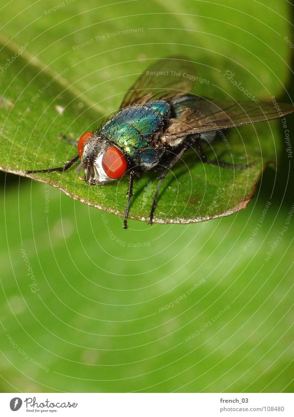 macro-fly 3 Strong Large Leaf Fascinating Green Small Red Insect Easy Hover Compound eye Legs Blowfly Greenbottle fly Dazzling Row Silhouette Summer Dipterous