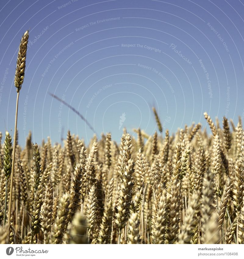 Nature Sky Plant Summer Meadow Landscape Field Grain Agriculture Seasons Harvest Beautiful weather Agriculture Wheat Ear of corn