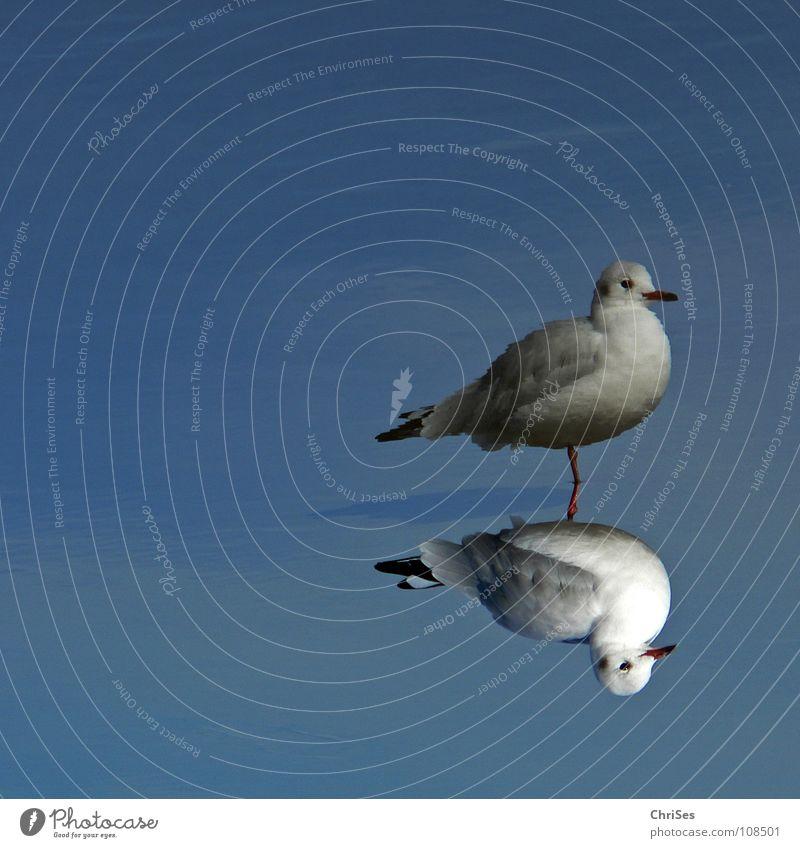 Biplane : Silver Gull ( Larus novaehollandia ) Seagull Bird Animal White Gray Black Mirror Reflection 2 Twin Poultry Lake Ocean Cuxhaven Autumn Water Blue