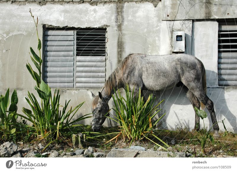 Old Calm Animal Wall (building) Window Garden Gray Wall (barrier) Arm Horse Broken Simple Cuba Beautiful weather To feed Mammal