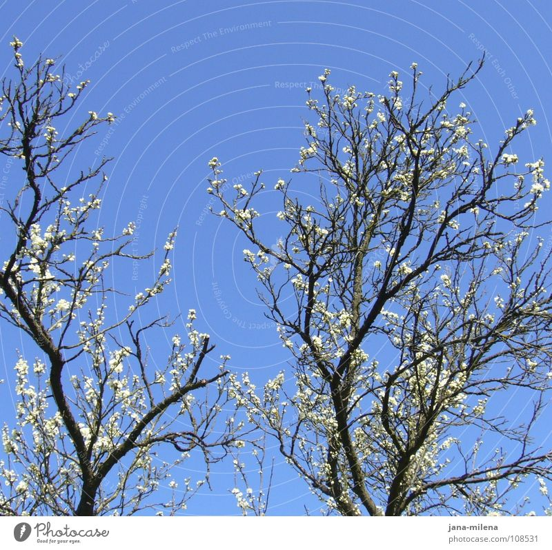 Sky White Blue Blossom Spring Europe Clean Pure Branch Twig Branchage Apple blossom Almond blossom