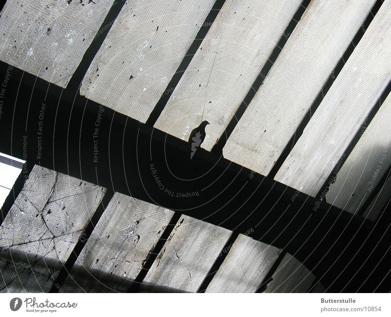Gray Gloomy Pigeon