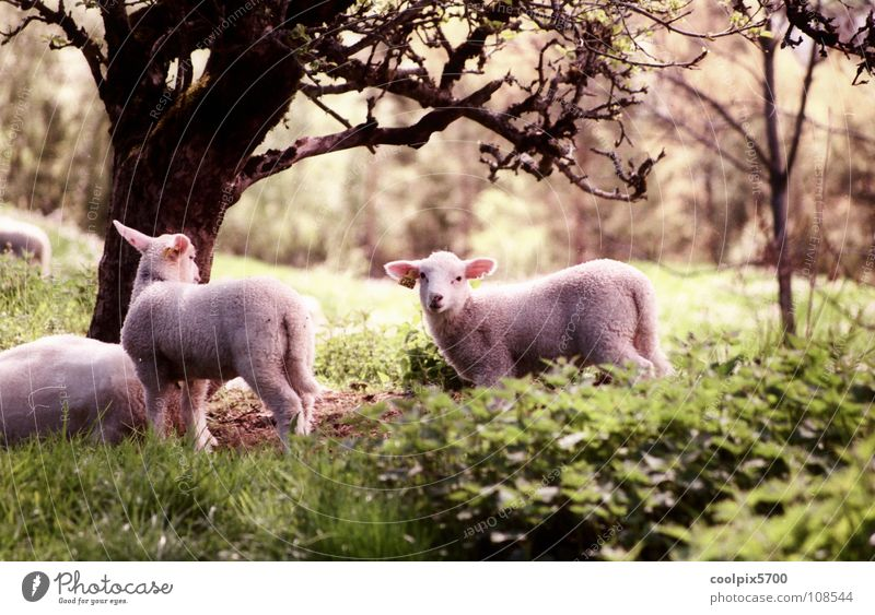 Nature Tree Loneliness Forest Meadow Field Peace Pasture Sheep Mammal Norway Animal Lamb Profession Herdsman Flock