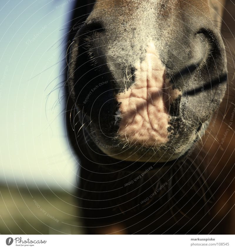 powerful nostrils Animal Horse Pasture Ride Snout Nostril Mane Mammal Part Muzzle Shadow Hair and hairstyles Nose