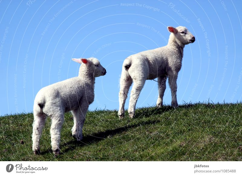 tender lambs Environment Nature Animal Pet Farm animal Lamb Sheep 2 Baby animal Playing Brash Fresh Healthy Happy Muscular Juicy Respect Delicate