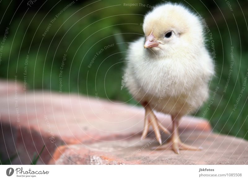 Nature Animal Baby animal Environment Yellow Small Bird Soft Delicate Egg Beak Smooth Cuddly Barn fowl Farm animal Claw
