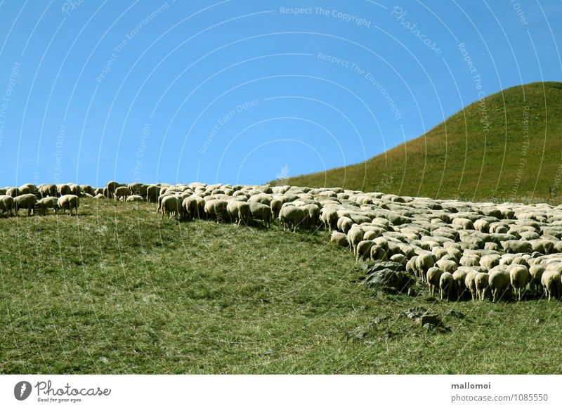 graphically arranged flock of sheep Flock Sheep Environment Nature Landscape Plant Graphic Animal Field Hill Mountain Alpine pasture Farm animal