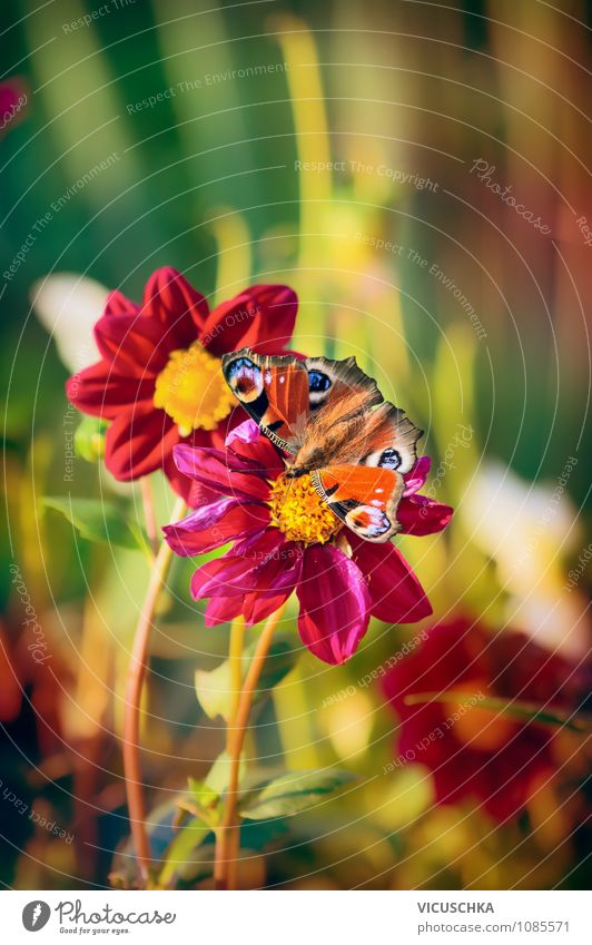 Butterfly on red Dahlia flowers Lifestyle Design Summer Garden Nature Plant Sunlight Spring Autumn Flower Park Meadow 1 Animal Soft Yellow Pink