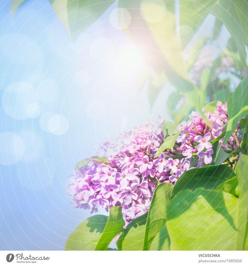 Purple lilac in the sunshine Lifestyle Style Design Joy Happy Summer Garden Decoration Nature Plant Sky Sun Sunlight Spring Beautiful weather Flower Park