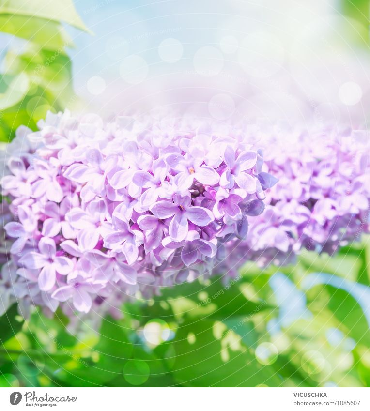 Flowering lilac Lifestyle Design Summer Garden Nature Plant Sunlight Spring Beautiful weather Bushes Background picture Lilac Blossoming Heaven Blur Leaf