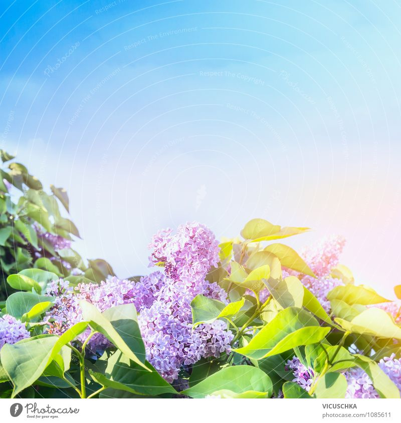 Lilac flowering time Lifestyle Style Design Summer Garden Nature Plant Sky Cloudless sky Spring Beautiful weather Tree Flower Park Pink Background picture