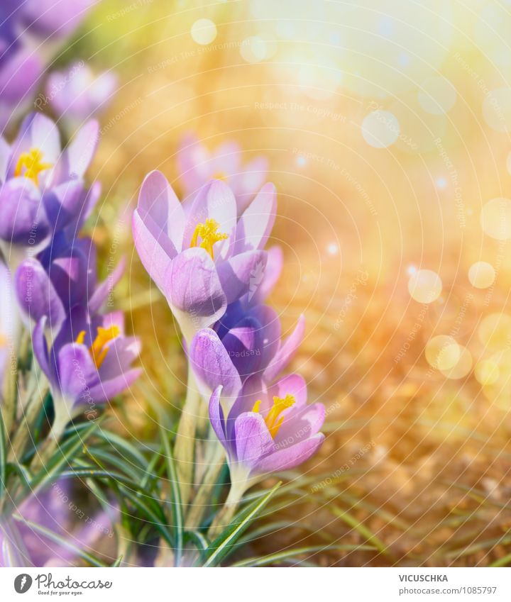 Nature Plant Summer Flower Dye Spring Feasts & Celebrations Background picture Garden Park Design Beautiful weather Spring fever Crocus Spring flower