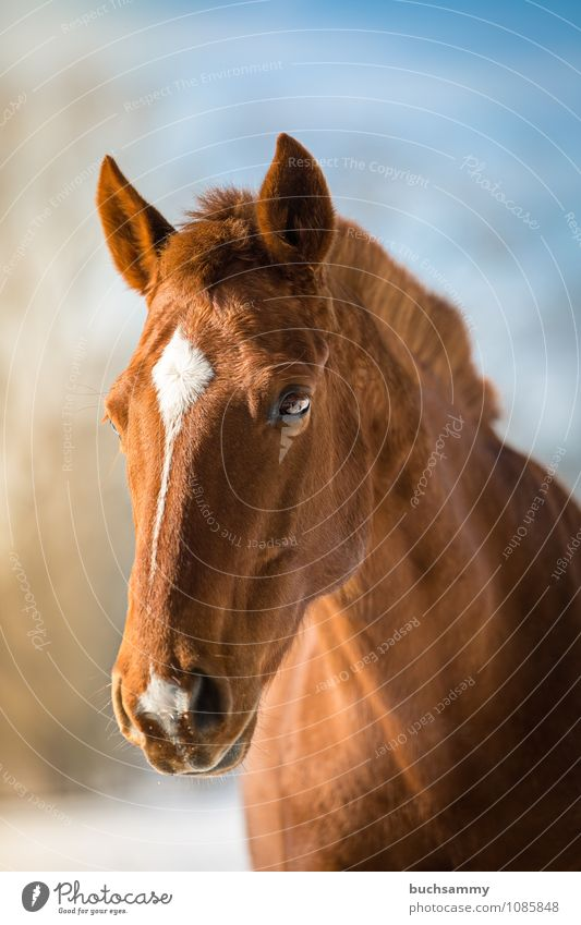 Dream horse Animal Farm animal Horse 1 Blue Brown White Eyes pale Head Mane Mount sunshine Mammal Fox Ride Colour photo Exterior shot Close-up Copy Space top
