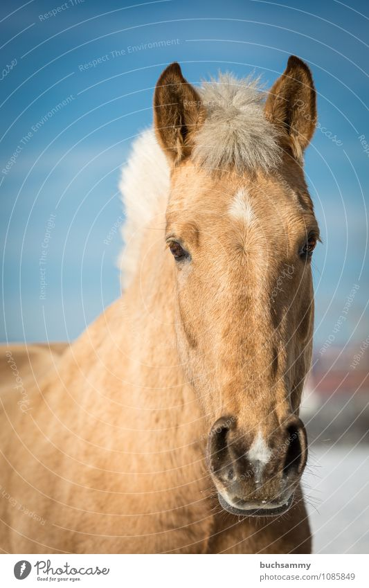 dream horse Animal Farm animal Horse Animal face 1 Blue Brown White Eyes Beige pale Head Mane Mount sunshine Mammal Ride Colour photo Exterior shot Deserted