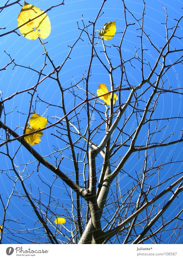 Then it warned only 6... Tree Leaf Yellow Autumn Sky Tree trunk Branch Blue Primordial Wind To fall Few