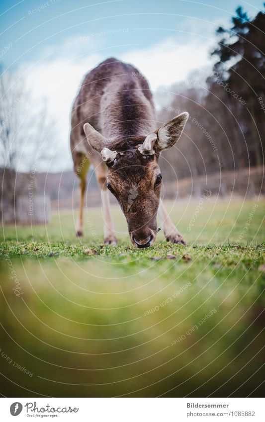 . Environment Nature Animal Tree Park Meadow Forest Wild animal Roe deer Deer Fawn Red deer 1 Baby animal Observe To feed Near Curiosity Blue Brown Green