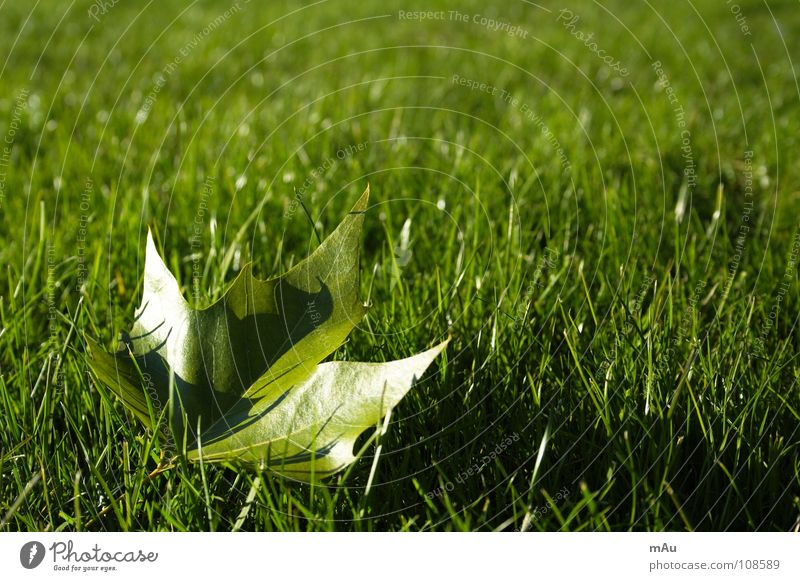 Tree Joy Leaf Relaxation Autumn Meadow Playing Grass Park Force Fresh Lawn Juicy Maple tree