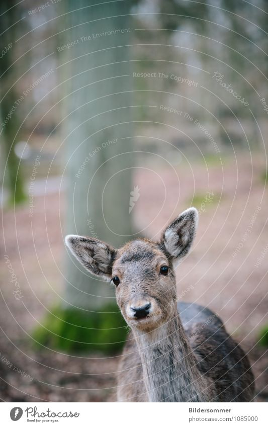 . Environment Nature Animal Tree Forest Wild animal Zoo Roe deer Forest animal 1 Observe Hunting Looking Near Curiosity Brown Gray Green Spring fever Trust