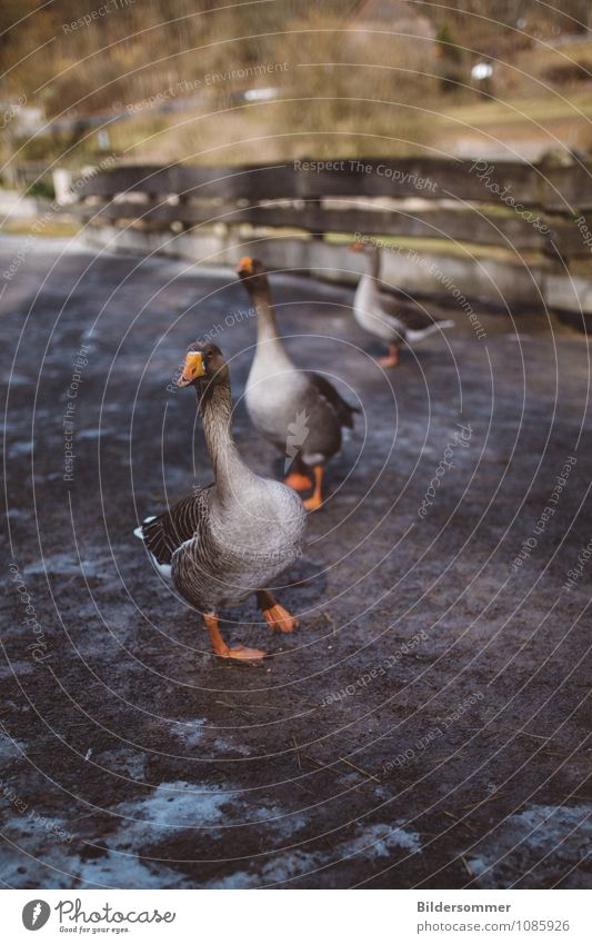 . Village Animal Pet Farm animal Bird Goose Goose step 3 Group of animals Observe Walking Stand Brown Gray Green Orange Fence Country life Rural Curiosity