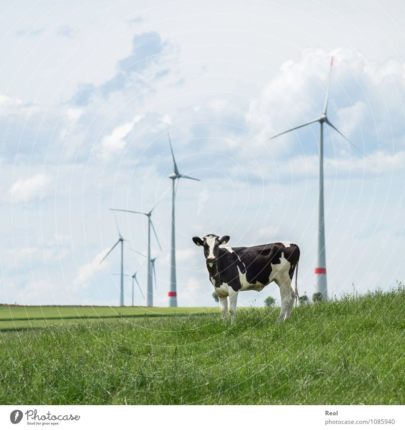 Nature Green Summer Clouds Animal Meadow Grass Energy industry Field Agriculture Wind energy plant Environmental protection Sustainability Cow Against